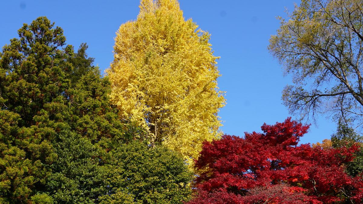 最勝寺の上空からの紅葉、銀杏、常緑樹の空撮写真