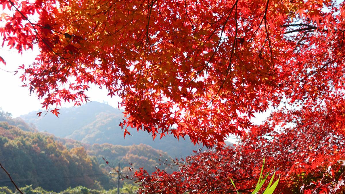 最勝寺境内から西側の大岩山を望む 紅葉写真