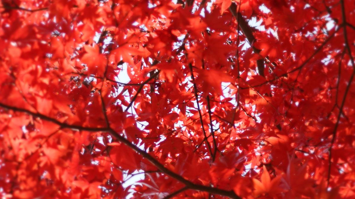 最勝寺境内の紅葉拡大写真