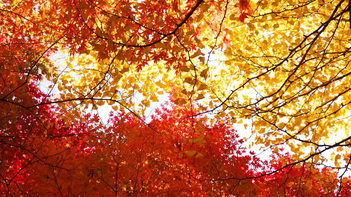 最勝寺の境内中央の紅葉とイチョウの写真